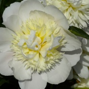 The perfect peonie