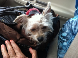 Georgina is in her purse riding to the RV with us.